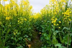 Percorso tramite il fiore del seme oleifero Immagine Stock Libera da Diritti