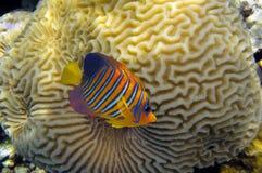 Percula Amphiprion κλόουν anemonefish Στοκ εικόνες με δικαίωμα ελεύθερης χρήσης