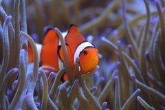 Percula del Amphiprion di Clownfish nel anemone di mare ospite Fotografia Stock Libera da Diritti