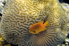 Percula do Amphiprion dos anemonefish do palhaço Imagem de Stock