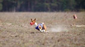 Percurso, paixão e velocidade Corredor de Basenji dos cães Fotografia de Stock Royalty Free