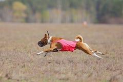 Percurso, paixão e velocidade Corredor de Basenji dos cães Imagens de Stock Royalty Free