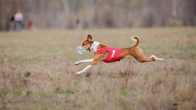 Percurso, paixão e velocidade Corredor de Basenji dos cães Fotos de Stock