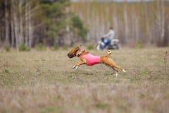 Percurso, paixão e velocidade Corredor de Basenji dos cães Imagem de Stock