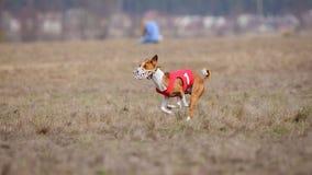 Percurso, paixão e velocidade Corredor de Basenji dos cães Fotos de Stock Royalty Free
