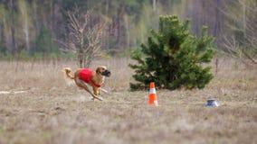 Percurso, paixão e velocidade Corrida dos cães do borzaya de Yuzhnorusskaya Foto de Stock Royalty Free
