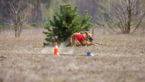Percurso, paixão e velocidade Corrida dos cães do borzaya de Yuzhnorusskaya Imagens de Stock Royalty Free