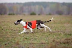Percurso, paixão e velocidade Corrida dos cães do galgo Fotos de Stock