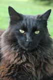 Percy the black cat Stock Image