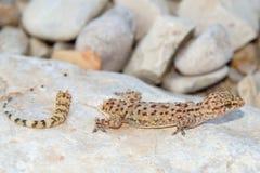 Perda da cauda do lagarto - geco mediterrâneo Imagem de Stock