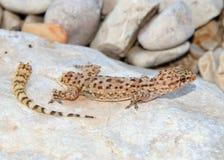 Perda da cauda do lagarto - geco mediterrâneo fotografia de stock