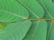 Perdez vers le haut des modèles et des textures des feuilles, feuilles dans les paires des deux côtés photographie stock libre de droits