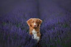 Perdigueiro anunciando do pato de Nova Scotia do cão no campo da alfazema Fotografia de Stock
