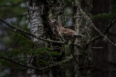 Perdiz de Taiga no autor nativo do habitat: twinlynx Imagens de Stock