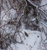 Perdiz na neve nos arbustos na floresta perto de Belokurikha, Altai, Rússia imagens de stock