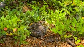 Perdiz nival con las bayas en un bosque vibrante Imagen de archivo libre de regalías