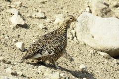 Perdiz nival siberiana de la roca (mutus del Lagopus). Fotografía de archivo