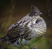 Perdrix de grouse de Ruffed Images stock