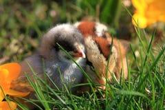 perdrix Vert-à jambes et poussins bleus dominants Image libre de droits