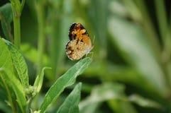 Perełkowy Półksiężyc motyl Zdjęcia Stock