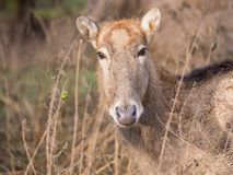 Pere大卫的鹿的特写镜头 免版税库存照片
