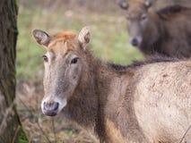 Pere大卫的鹿的特写镜头 免版税库存图片