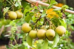 Pere asiatiche sull'albero da frutto Immagine Stock Libera da Diritti