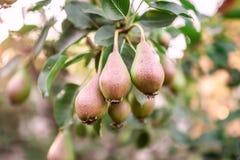 Pere che crescono nel frutteto della pera Immagini Stock Libere da Diritti