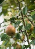 Pere che crescono su un albero in un giardino Fotografia Stock