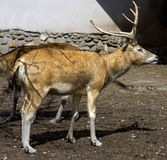 Pere David`s deer 1 Stock Photography
