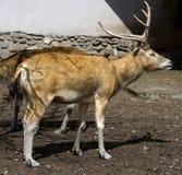 Pere David`s deer 1. Pere David`s deer. Latin name - Elaphurus davidianus Stock Photography