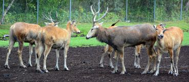 Free Pere David`s Deer Stock Photography - 123496072