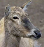 Pere David`s deer 2 Royalty Free Stock Photography