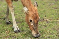 Free Pere David S Deer Royalty Free Stock Photo - 25753555