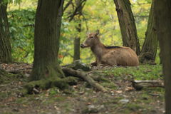 Pere David's deer Stock Photos