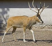 Pere David`s deer 7 Stock Image