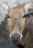 Pere David`s deer 8 Royalty Free Stock Image