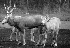 Pere David`s deer. Also known as the milu or elaphure, is a species of deer that is currently extinct in the wild all known specimens are found only in stock photos