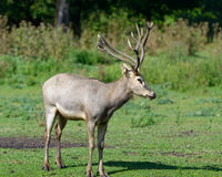 Pere David's deer Stock Photo