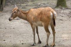Pere David`s deer Elaphurus davidianus Royalty Free Stock Images