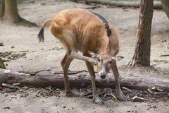 Pere David`s deer Elaphurus davidianus Royalty Free Stock Photo
