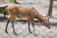 Pere David`s deer Elaphurus davidianus Royalty Free Stock Photos