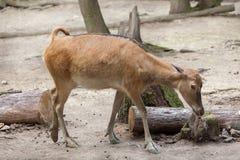 Pere David`s deer Elaphurus davidianus Stock Images