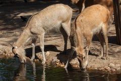 Pere David`s deer Elaphurus davidianus Stock Image