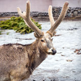 Pere David's deer. (Elaphurus davidianus), also known as the milu or elaphure Royalty Free Stock Images