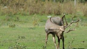 Pere David's deer (Elaphurus davidianus) stock video footage