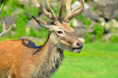 Pere David's deer. (Elaphurus davidianus), also known as the milu or elaphure, is a species of deer that is currently extinct in the wild all known specimens Royalty Free Stock Images