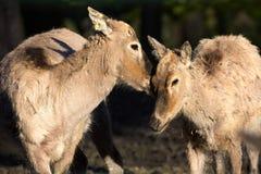 Pere David's deer, Elaphurus davidianus, was almost extinct Stock Images