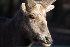 Pere David's deer, Elaphurus davidianus, was almost extinct Royalty Free Stock Image