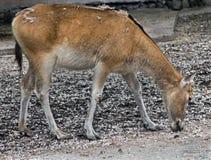 Pere David's deer female 2 Stock Photos